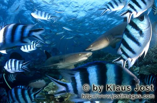 Weissspitzen-Riffhai/Whitetip reef shark/Triaenodon obesus        Whitetip reef sharks        The <b