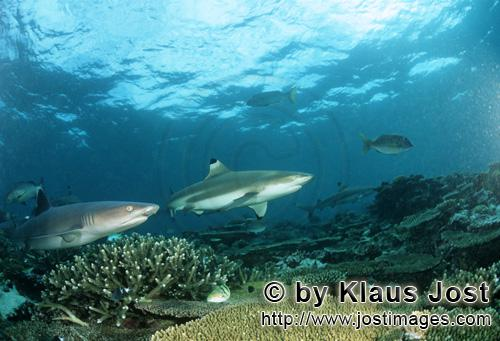 Schwarzspitzen-Riffhai/Blacktip reef shark/Carcharhinus melanopterus        Blacktip reef shark and