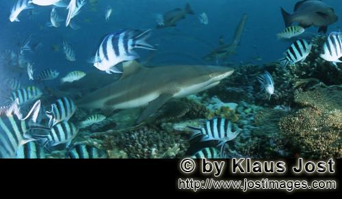 Schwarzspitzen-Riffhai/Blacktip reef shark/Carcharhinus melanopterusBlacktip reef sharkThe blacktip Reef Shark (Carcharhinus melanopterus)  is easily identified by the prominent black tips on its fins. Among the most abundant Sharks inhabiting the tropical coral reefs of the Indian and Pacific Oceans, this species prefers shallow, inshore waters and its exposed first dorsal fin is a common sight in tropical and subtropical waters. Most Blacktip Reef Sharks are found over reef ledges and sandy flats, though they have also been known to enter brackish and freshwater environments. Younger Sharks prefer shallow sandy flats, while older sharks are most common around reef ledges and can also be found near reef Drop-Offs. This species typically attains a length of up to 1.6 m (5.2 ft).Its diet is composed primarily of small fish, squid, sometimes seabirds or other small Sharks.