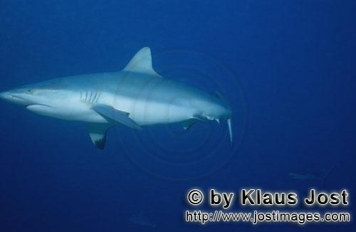 Grauer Riffhai/Gray reef shark/Carcharhinus amblyrhynchosGray reef sharkThe grey reef shark (Carcharhinus amblyrhynchos) is one of the most common reef sharks in the Indo-Pacific. It is found as far east as Easter Island and as far west as South Africa. This species is most often seen in shallow water near the drop-offs of coral reefs. The grey reef shark has a broad, round snout and large eyes. This species can be distinguished from similar species by the plain or white-tipped first dorsal fin, the dark tips on the other fins, the broad black rear margin on the tail fin. Most individuals are less than 1.9 m (6.2 ft) long. Grey reef sharks are fast-swimming, agile predators that feed primarily on fishes and cephalopods.