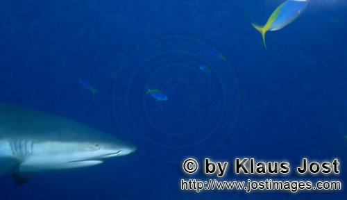 Grauer Riffhai/Gray reef shark/Carcharhinus amblyrhynchos        Gray reef shark portrait        The