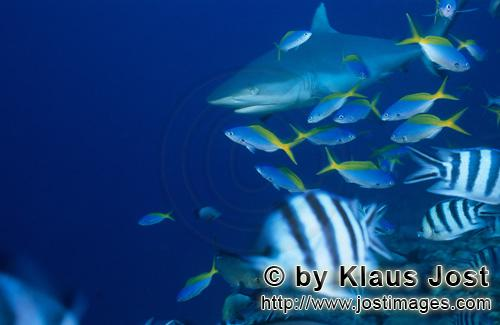 Grauer Riffhai/Gray reef shark/Carcharhinus amblyrhynchosGray reef shark, Fusiliers and Scissortail SergeantsThe grey reef shark (Carcharhinus amblyrhynchos) is one of the most common reef sharks in the Indo-Pacific. It is found as far east as Easter Island and as far west as South Africa. This species is most often seen in shallow water near the drop-offs of coral reefs. The grey reef shark has a broad, round snout and large eyes. This species can be distinguished from similar species by the plain or white-tipped first dorsal fin, the dark tips on the other fins, the broad black rear margin on the tail fin. Most individuals are less than 1.9 m (6.2 ft) long. Grey reef sharks are fast-swimming, agile predators that feed primarily on fishes and cephalopods.
