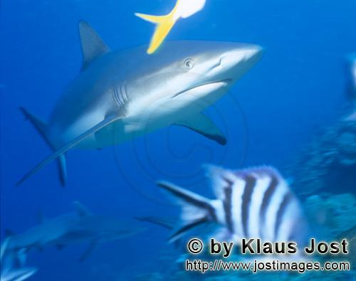 Grauer Riffhai/Gray reef shark/Carcharhinus amblyrhynchos        Gray reef shark in blue water