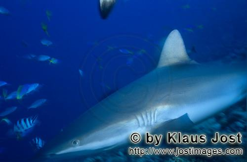 Grauer Riffhai/Gray reef shark/Carcharhinus amblyrhynchos        Gray reef shark        The grey