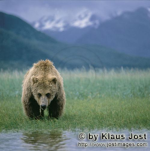 Brown Bear/Ursus arctos horribilis        Grazing Brown Bear        Up to the time of the salmon