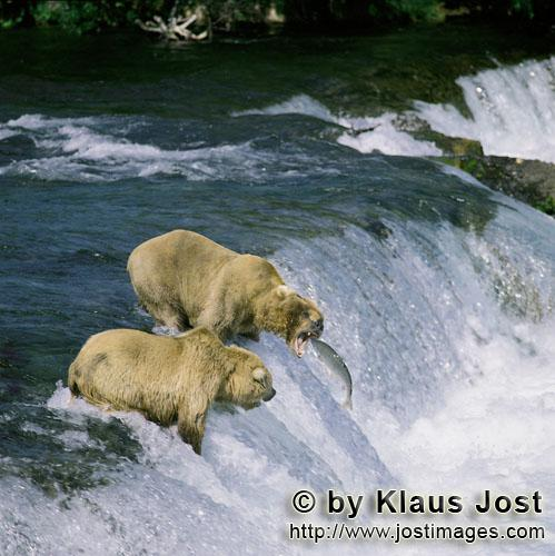 Brown Bears/Ursus arctos horribilis        Salmon à la carte        Every year when the salmon draw