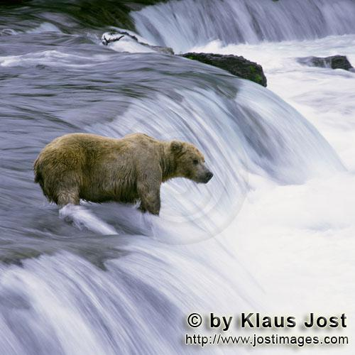 Brown Bear/Ursus arctos horribilis        Brown bear in strong currents at the waterfall        Ever