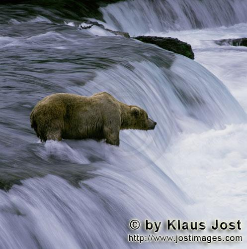Brown Bear/Ursus arctos horribilis        Patient brown bear at the waterfall        Every year when