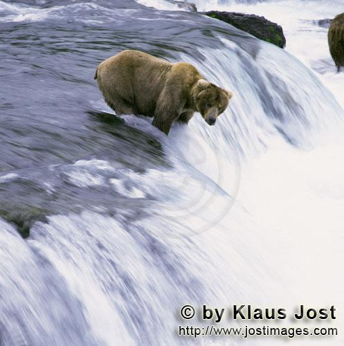 Brown Bear/Ursus arctos horribilis        Brown bear is waiting for a jumping salmon        Every ye