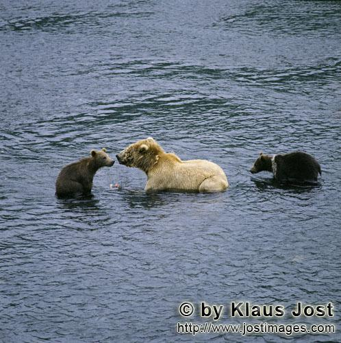 Brown Bears/Ursus arctos middendorffi        Sow with her spring cubs fishing for salmon