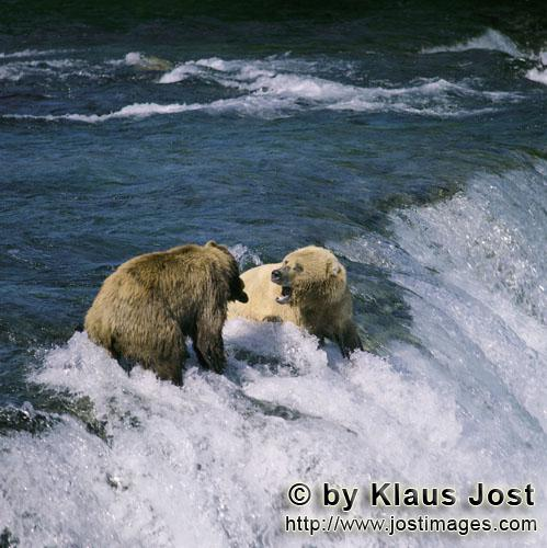 Brown Bears/Ursus arctos horribilis        Brown bears are fighting at the waterfall        Every ye