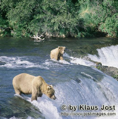 Brown Bears/Ursus Arctos horribilis        Brown bears fishing for salmon at the Brooks River Falls<