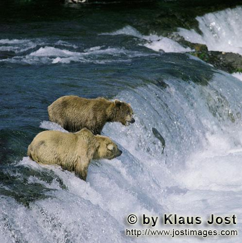 Brown Bears/Ursus arctos horribilis        Brown bears see a jumping salmon        Every year when t