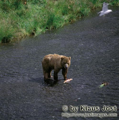 Brown Bear/Ursus arctos middendorffi        Kodiak Bear fishing for salmon