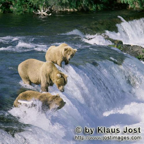 Brown Bears/Ursus arctos horribilis        Three brown bears on Brooks River Falls        Every year