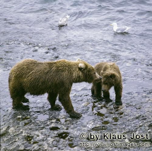 Brown Bears/Ursus arctos middendorffi        Mother Kodiakbear with young bear in the o' Malley Rive