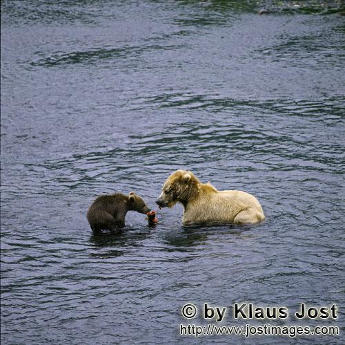 Brown Bears/Ursus arctos middendorffi            Sow with her cub fishing for salmon