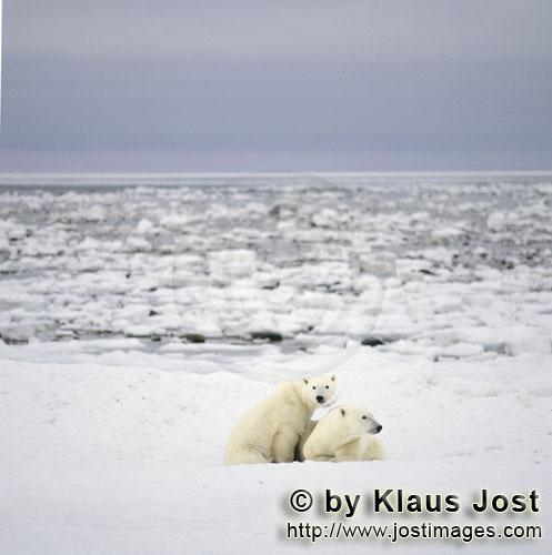 Polar Bear/Ursus maritimus        Resting Polar Bears in the Hudson Bay        The Polar Bear
