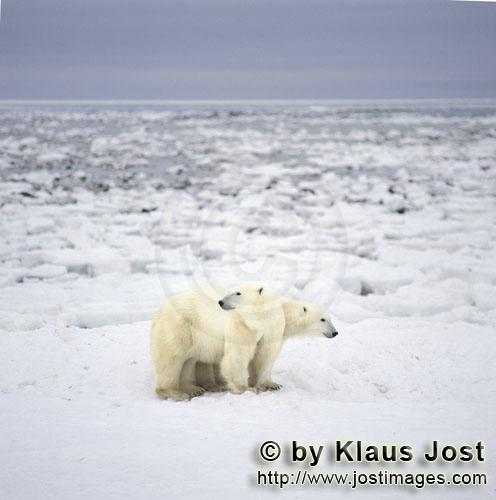 Eisbaer/Polar Bear/Ursus maritimus        Polar bears on their way at the Hudson Bay coast        Th