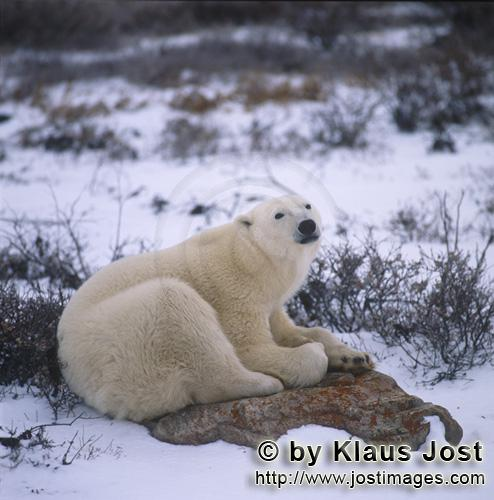 Polar Bear/Ursus maritim        The tired Polar bear on a rock at the Hudson Bay        The Polar