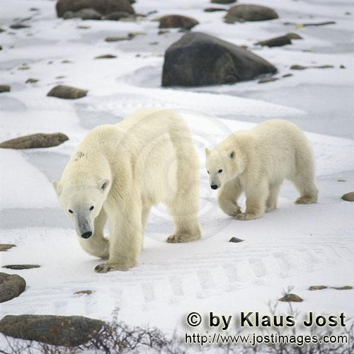 Polar Bear/Ursus maritimus        Young Polar Bear follows ist mother dutifully        The Polar