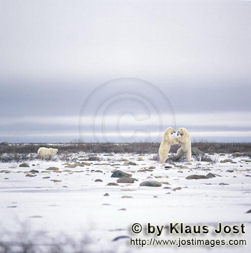 Polar Bear/Ursus maritimus        Polar Bears in typical postures in play fighting        The Pol
