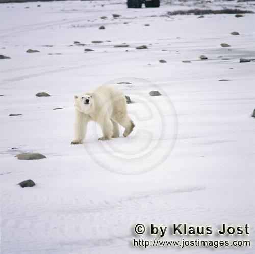 Polar Bear/Ursus maritimus        The Polar Bear curiously prowls along the Hudson Bay coast