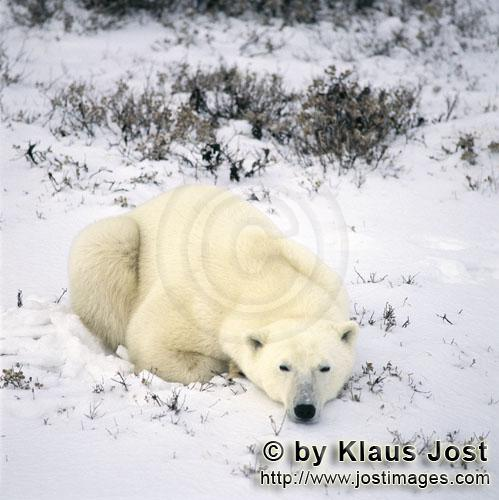 Polar Bear/Ursus maritimus        Resting Polar Bear in the freshly fallen snow        The Polar