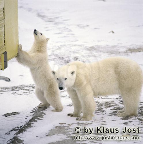 Polar Bear/Ursus maritimus        The little Polar Bear curiously examines a tundra Buggy        The