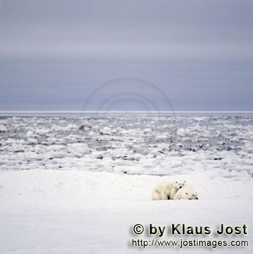 Eisbaer/Polar Bear/Ursus maritimus        A Young Polar Bear and his mother rest at the Hudson Bay</