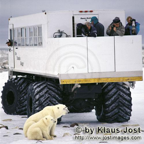The-Polar-Bears-have-got-used-to-Tundra-Buggies-and-other-cross-country-vehicles-appearing-between-mid-October-and-mid-November-Thousends-of-guests-come-every-year-and-Churchill-is-then-The-Polar-Bear-Capital-of-the-World.jpg