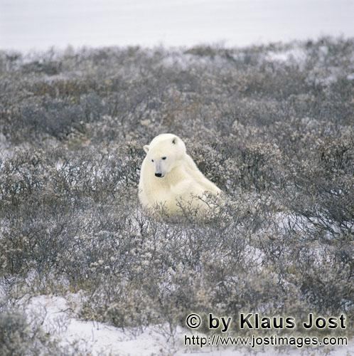 Polar Bear/Ursus maritimus        Polar Bear in the coast tundra in late autumn        The Polar