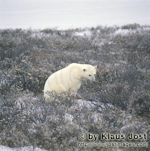 Polar Bear/Ursus maritimus        Resting Polar Bear at the Hudson Bay        The Polar Bear