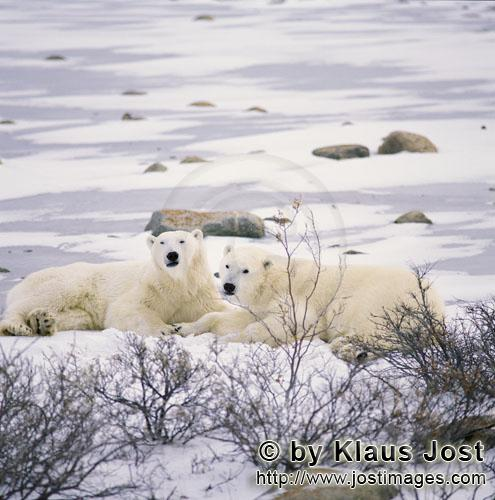 Polar Bear/Ursus maritimus        Resting Polar Bears at the Hudson Bay coast        The Polar Be