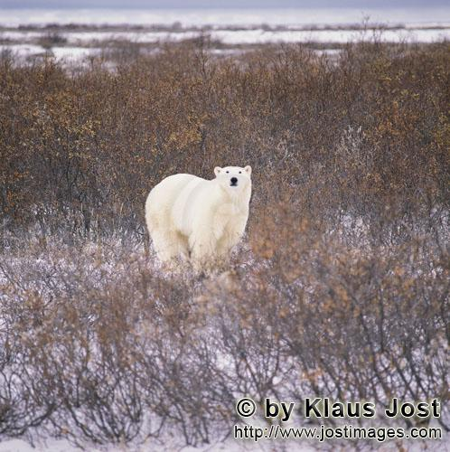 Eisbaer/Polar Bear/Ursus maritimus        Polar Bear in the autumnal tundra at the Hudson Bay