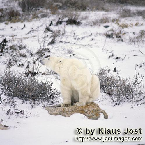Eisbaer/Polar Bear/Ursus maritimus        Resting Polar Bear at the Hudson Bay        The Polar B