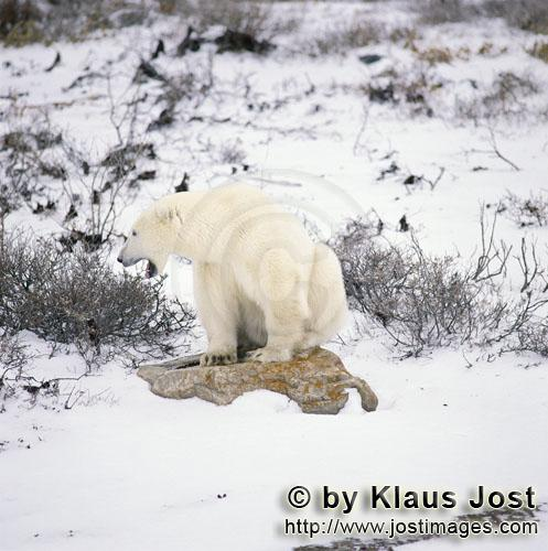 Polar Bear/Ursus maritimus        <The Polar Bear and ist resting place in the tundra/b>        The