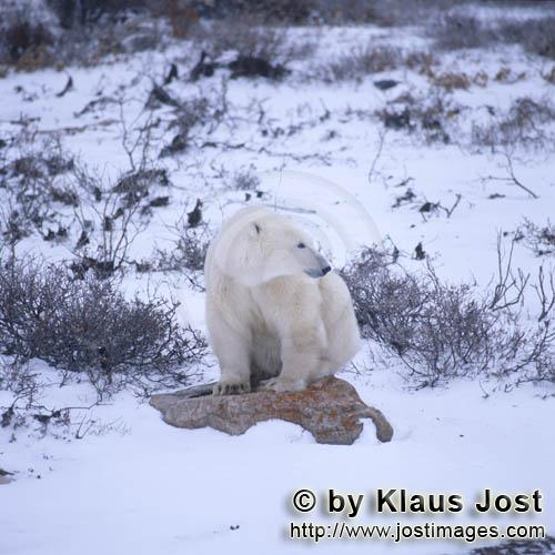 Polar Bear/Ursus maritimus        Polar bear on a stone        The Polar Bear with the scient