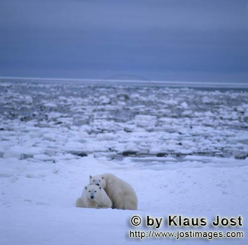 Polar Bear/Ursus maritimus        Polar bears in the huge Hudson Bay        The Polar Bear wi