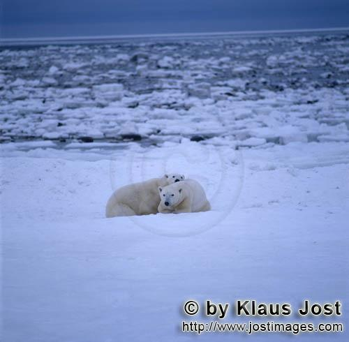 Polar Bear/Ursus maritimus        Two polar bears in the ice desert        The Polar Bear wit