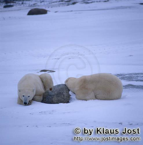 Polar Bear/Ursus maritimus        Rest is important in the life of the polar bears        The Pol