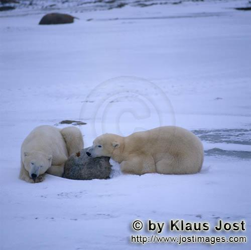 Eisbaer/Polar Bear/Ursus maritimus        Tired Polar Bears in the Hudson Bay        The Polar Be