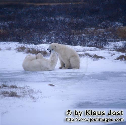 Eisbaer/Polar Bear/Ursus maritimus        Playing Polar Bears in the Hudson Bay        The Polar
