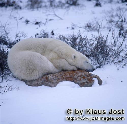 Polar Bear/Ursus maritimus        Polar bear on a rock in the tundra        The Polar Bear wi