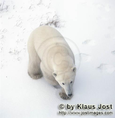 Polar Bear/Ursus maritimus        Polar bear in the ice desert        The Polar Bear with the