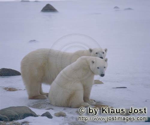 Polar Bear/Ursus maritimus        Polar bear and young bear        The Polar Bear with the sc
