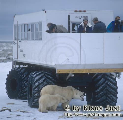 Polar Bear/Ursus maritimus        Polar bears under the tundra buggy        The Polar Bear wi