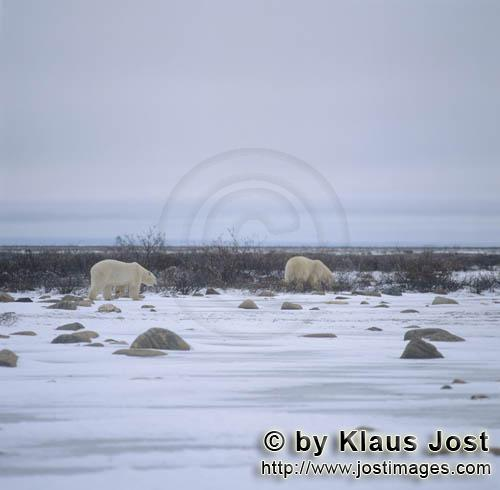 Eisbaer/Polar Bear/Ursus maritimus        Two Polar Bears in the tundra        The Polar Bear