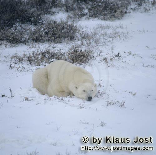 Polar Bear/Ursus maritimus        A relaxed polar bear        The Polar Bear with the scienti