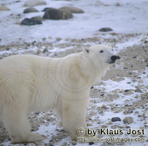 Polar Bear/Ursus maritimus        Polar Bear Ursus maritimus in the tundra        The Polar Bear<